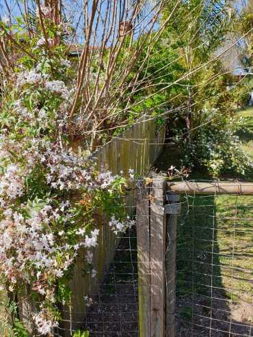 Smells like spring! Jasmine and May Bush.