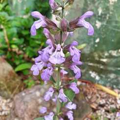 Sage flowers #inmygarden.