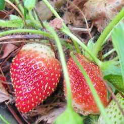 Regular strawberries #inmygarden.