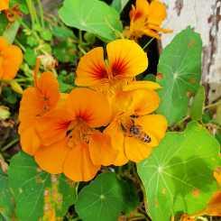 Bee and nasturtium #inmygarden.