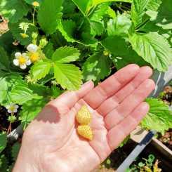 White strawberries #inmygarden.